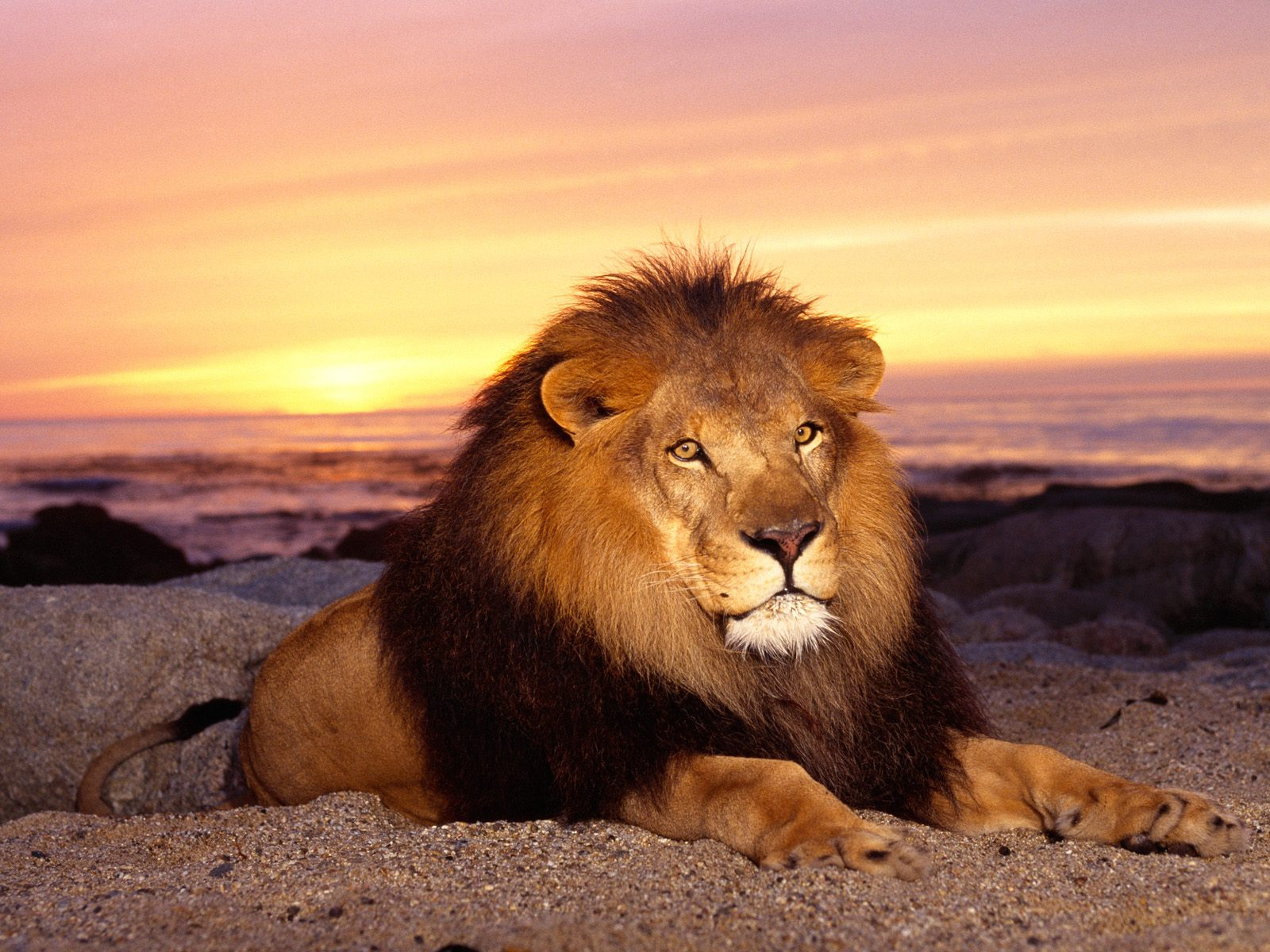 animals images african lion hd wallpaper and background photos