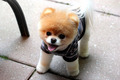 Boo-Cutest Dog - dogs photo