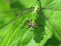 Green Dragonfly - green photo