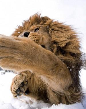 \\lions//