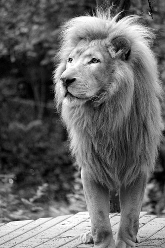 Lions پیپر وال titled lions
