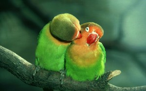 l'amour Birds..........