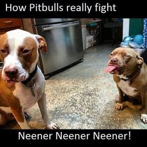 How pitbulls really figtht