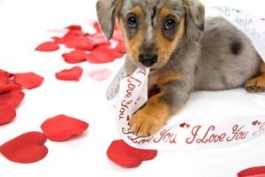 کتے valentines