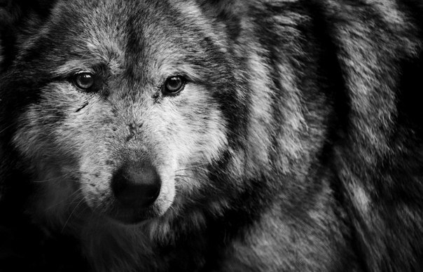 Wolf Facts Gray Wolves Timber Wolves amp Red Wolves