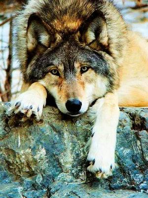 Big Beautiful wolf!