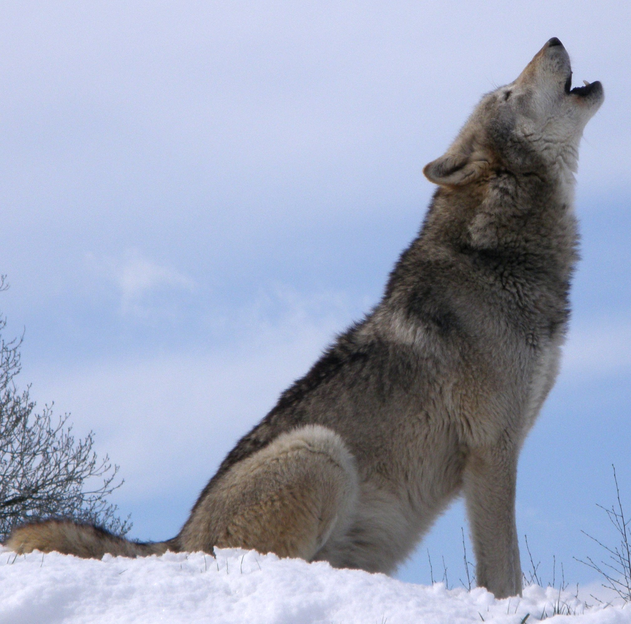 Amazing Wolves Images A Wolf Howling HD Wallpaper And Background Photos
