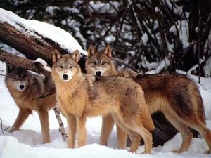 Pack of Wölfe