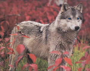 Pretty wolf w/blue eyes. :D