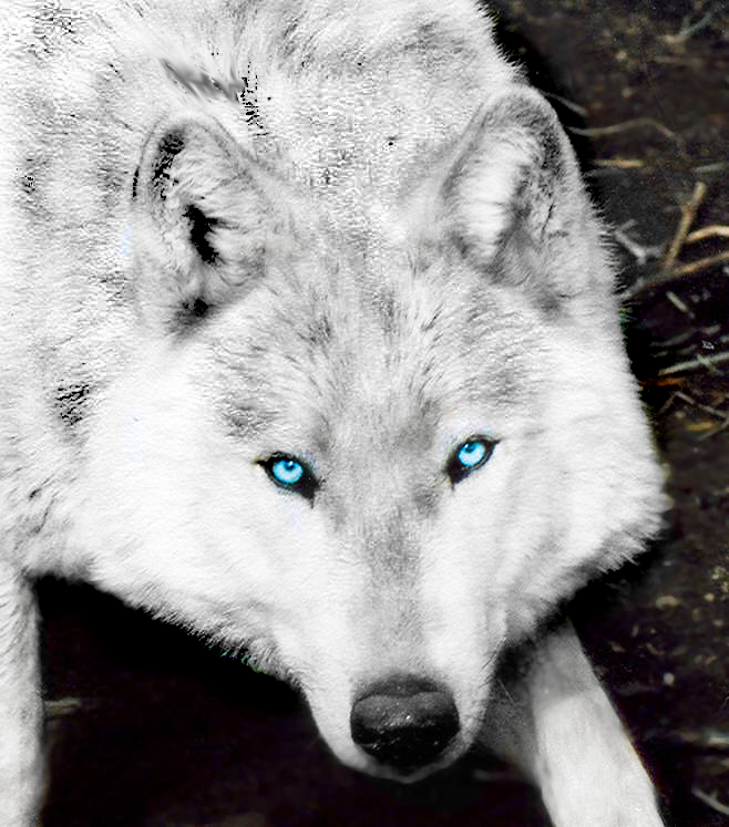 Amazing Wolves Images Amazing Wolf! HD Wallpaper And