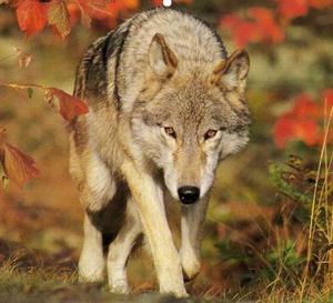 A Stunning wolf