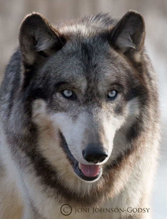 Cool Wolf Amazing Wölfe Foto 36734953 Fanpop