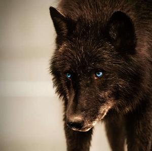 Handsome black wolf.
