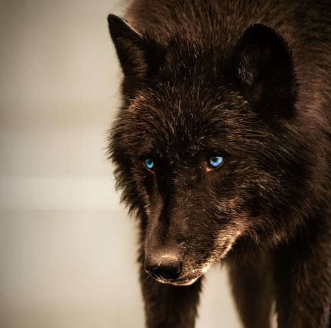 black wolves with blue eyes - photo #10