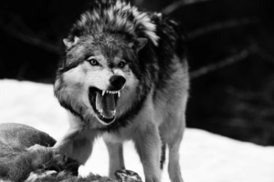 An angry wolf..
