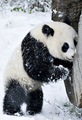 Panda       - animals photo