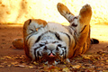Tiger       - animals photo