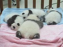 baby 팬더
