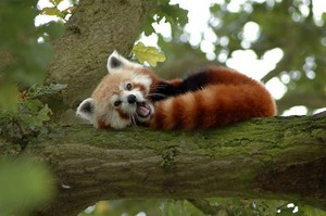 Red Panda in a branch