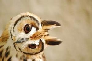 Owl tilting its head