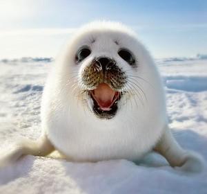 Harp Seal!