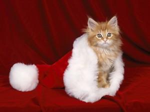 natal Kitten.