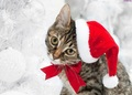 Christmas cat! - cats photo