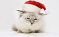 Christmas Cat - cats wallpaper