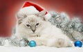 Christmas Cat! - cats wallpaper