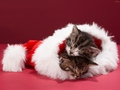 cats - Christmas Kittens. wallpaper