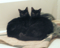 Two Black Cats - cats photo