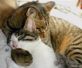 Affectionate Kitty - cats photo