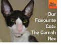 Cornish Rex Cat  - cats photo