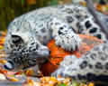 Snow Leopard - cats photo