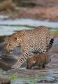 A Leopard And Her Cub - cats photo