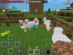 Chickens hang out at my chicken farm