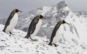 3 Emperor Penguins দেওয়ালপত্র