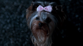 "Yorkie that Dean was afraid of In ""Yellow Feaver"" - supernatural photo"