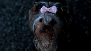 """Yorkie that Dean was afraid of In """"Yellow Feaver"""""""
