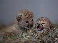 Cute cheetah cubs - the-animal-kingdom photo