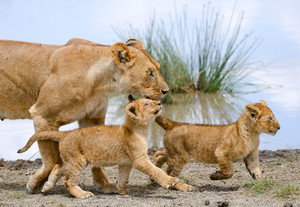 Mother 雌ライオン, ライオネス and cubs