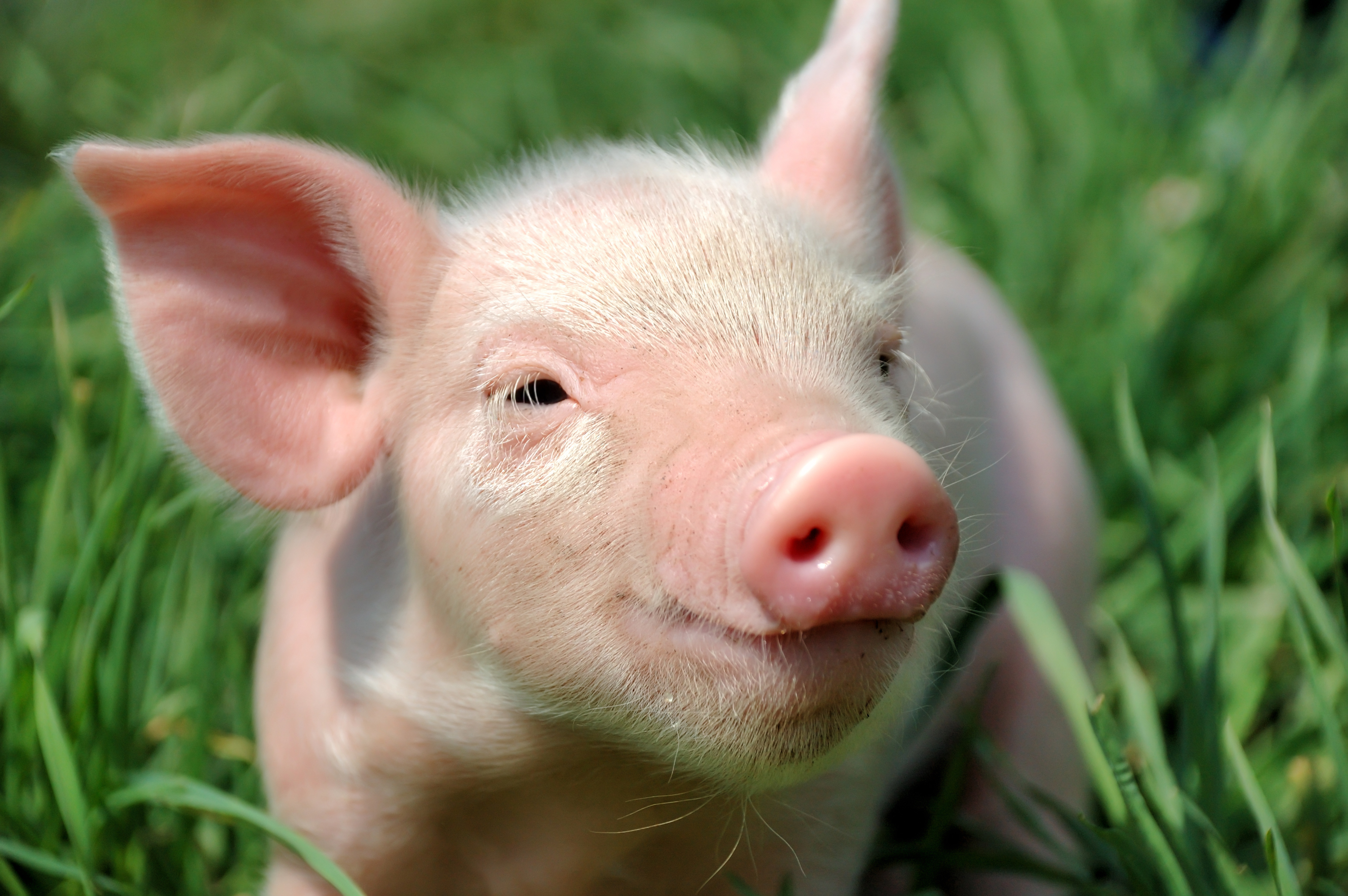 pigs images hd wallpaper and background photos 36848688