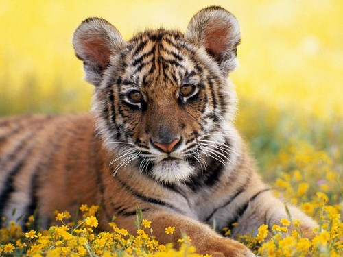 Dreamtime 바탕화면 containing a tiger cub and a tiger titled Adorable tiger cub