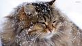 cats - Beautiful Kitty wallpaper