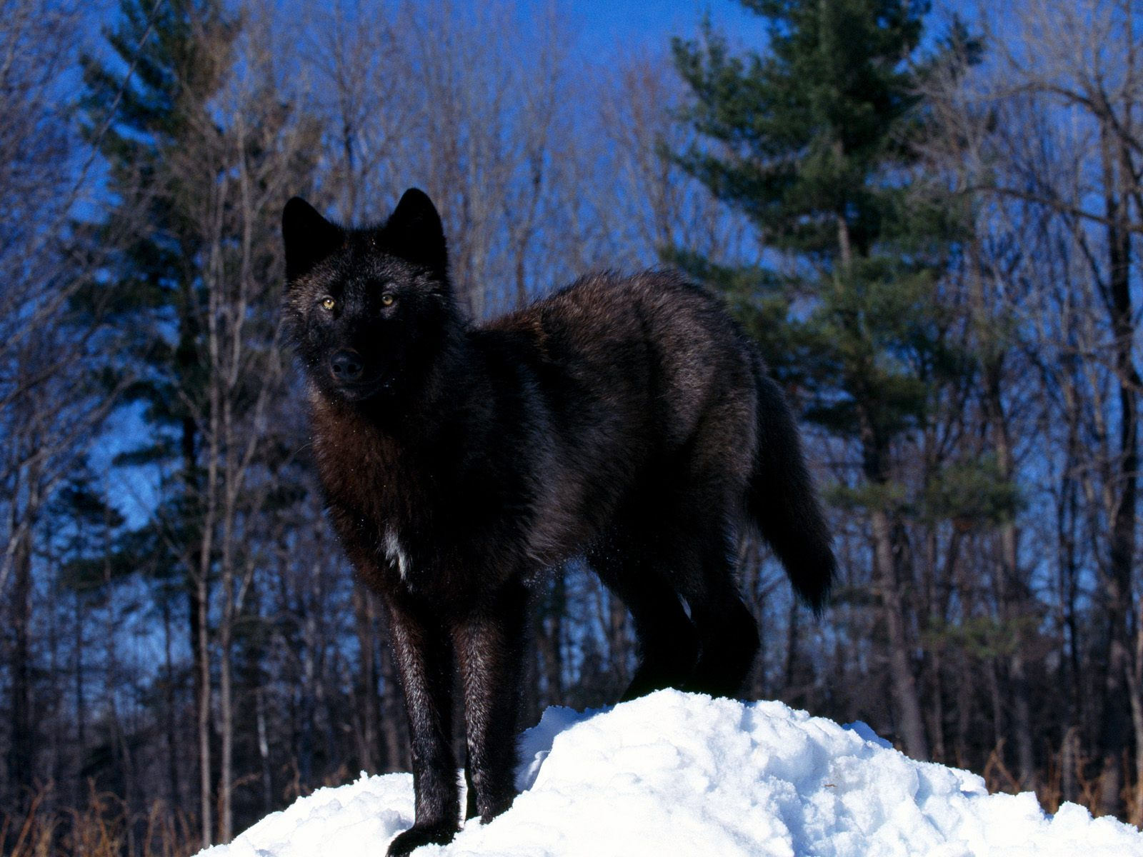 wolf in black and - photo #7