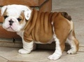 Bulldog ❤💎 - puppies photo