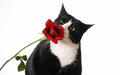 cats - Cat with rose wallpaper