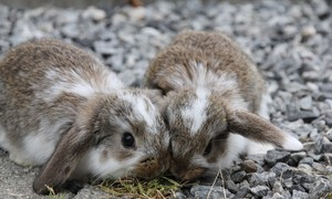 Cute Little Lops