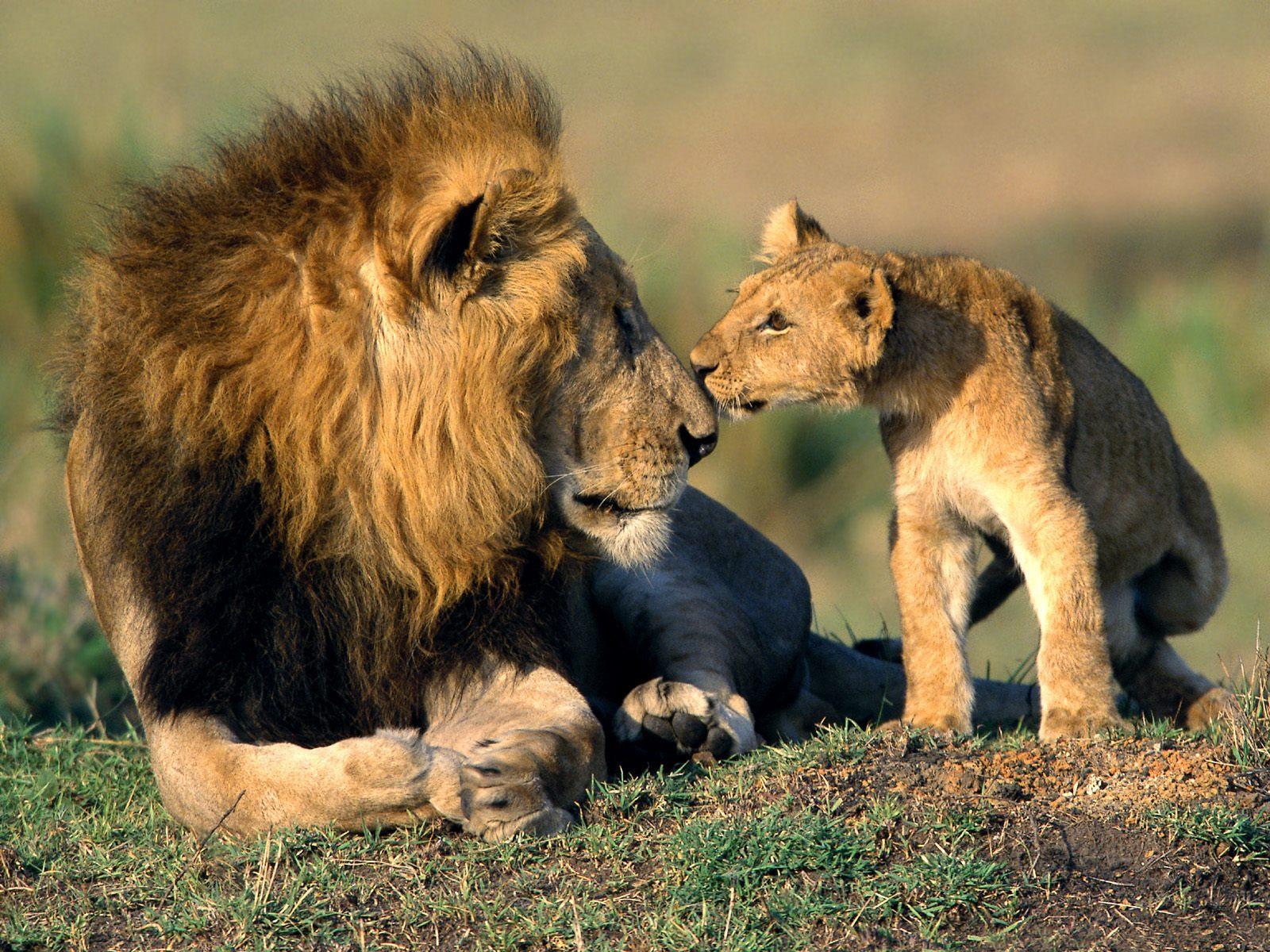 lion and cub relationship quiz