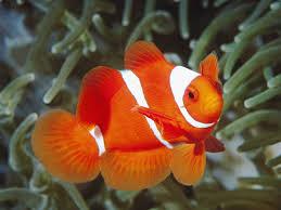 goldfish gill
